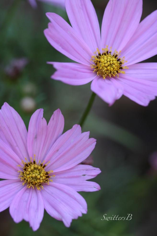 Cosmos-flowers-macro-photogaphy-SwittersB