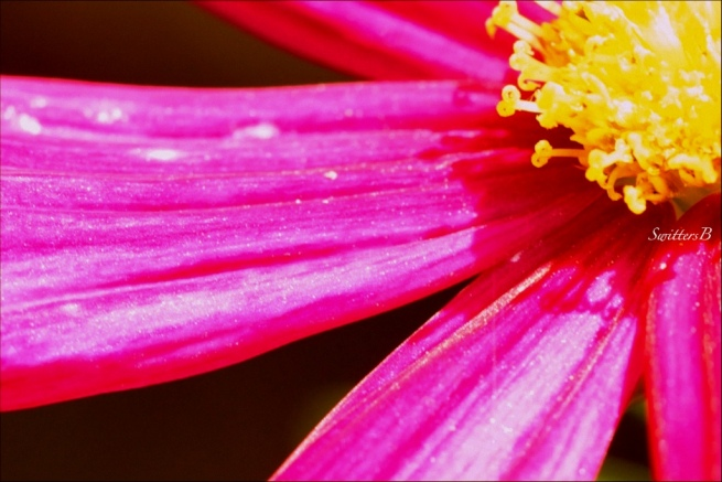 cosmos-flowers-macro-photography-SwittersB