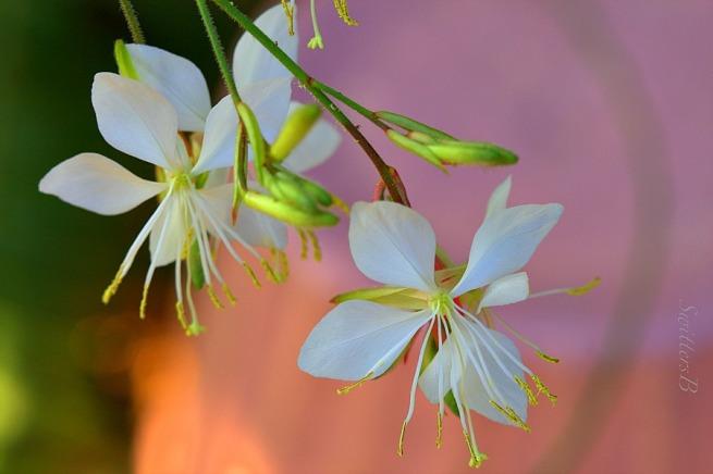 delicate white-flowers-macro-photography-SwittersB