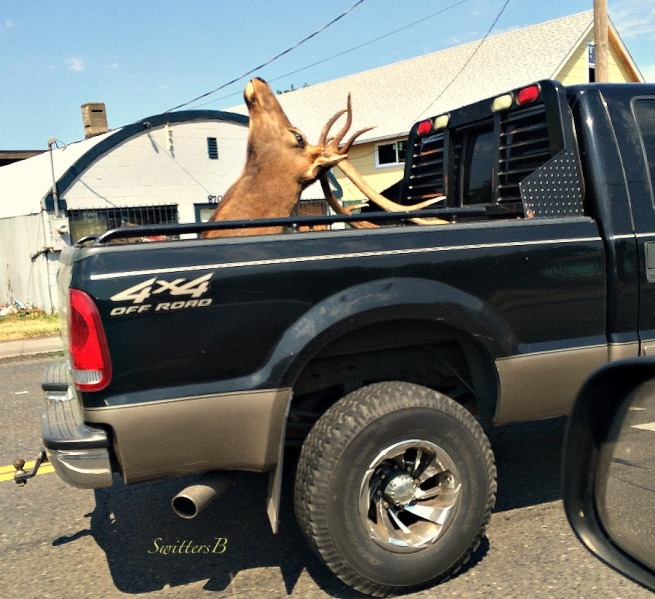 elk rack-head-antlers-trophy-photography-Oregon-SwittersB-hunting