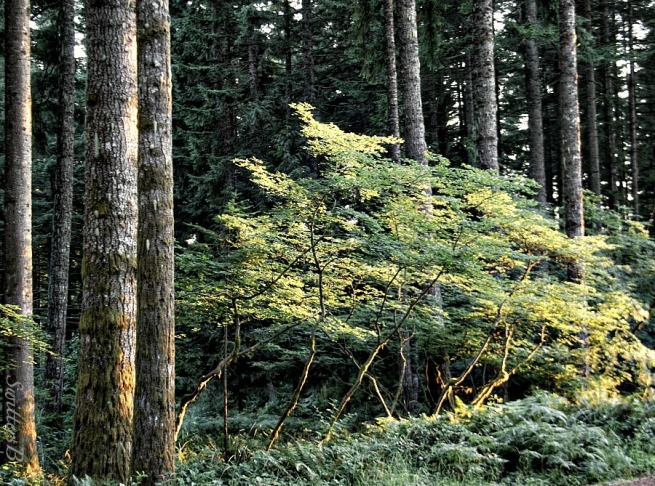 evening light-forest-trees-photography-vine maple-Oregon-SwittersB