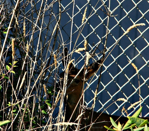 fawn 1-hiding-Oregon-photography-SwittersB