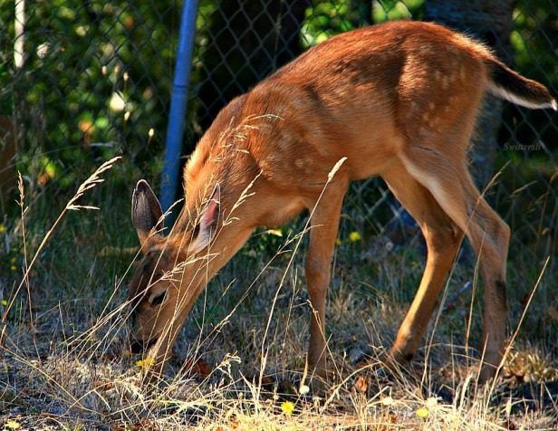 fawn 3-photography-Oregon-SwittersB-nature