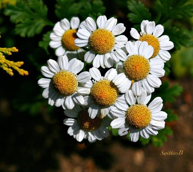 feverfew-herb-plants-daisy like-photography-SwittersB