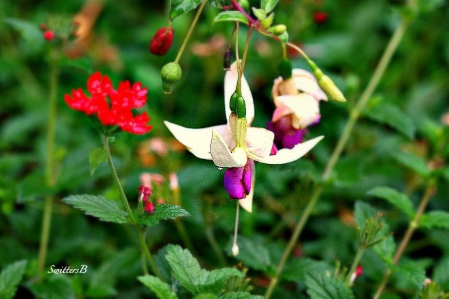 fuchsia-flowers-garden-photography-SwittersB
