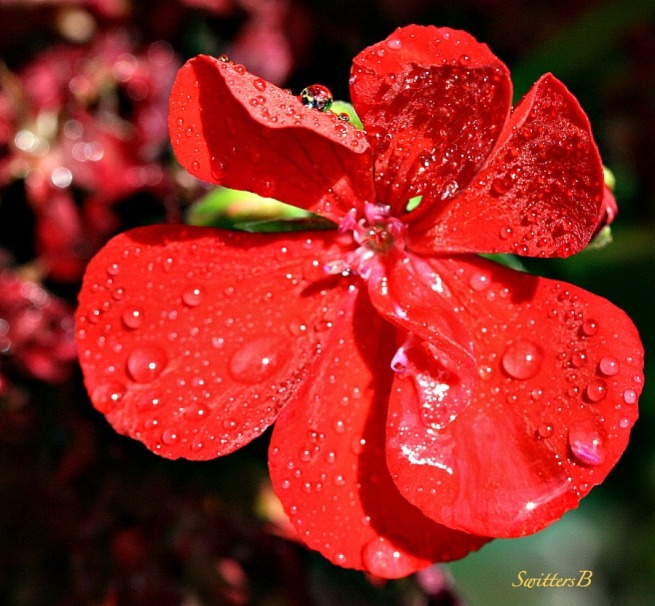 geranium blossom-macro-photography-SwittersB-water drops-garden