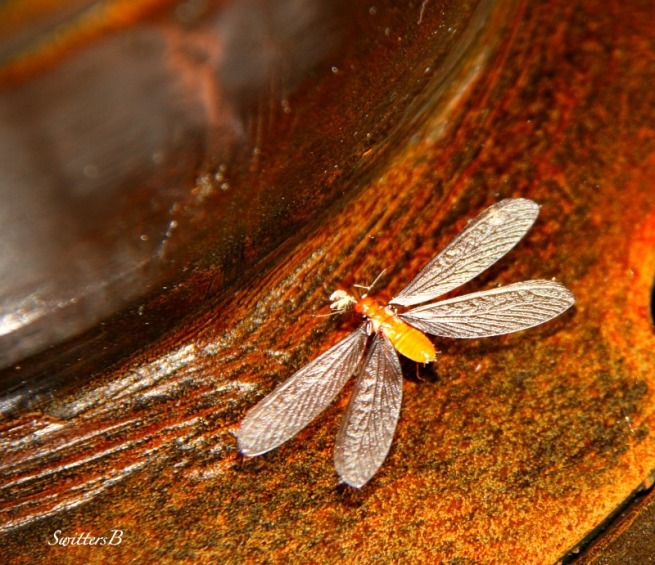 Insect-Macro-Photography-Spent Wing-SwittersB