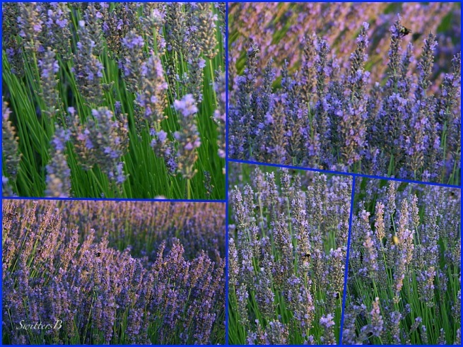Lavender Fields-flowers-gardens-rural-photography-SwittersB
