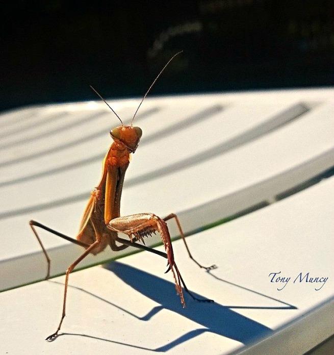 Mantis-Tony Muncy-Nature-Macro-Photography-SwittersB