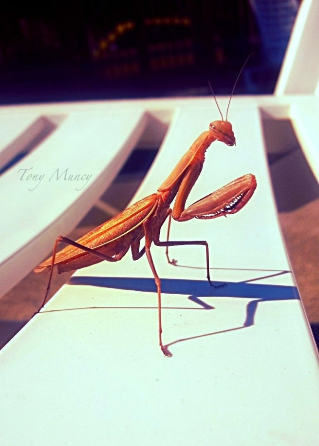 mantis-tony muncy-pool chair-shadows-insect-photography-SwittersB