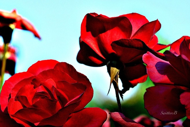 morning light-red roses-garden-macro-SwittersB=photography