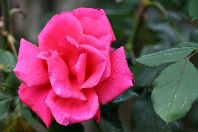 morning shower-rose-petals-water drops-garden-photography-SwittersB