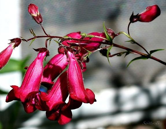pink bells-swittersb-macro-photography-gardening-flowers