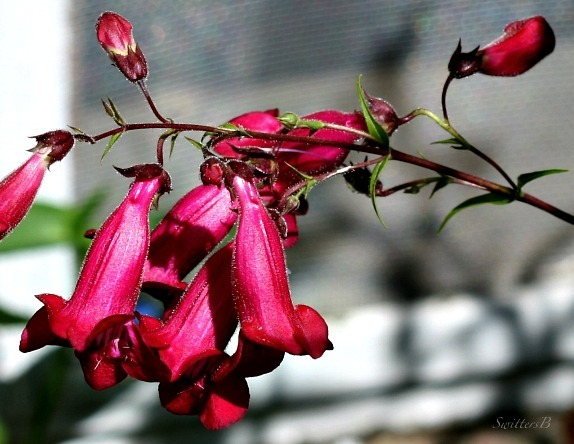 pink bells-swittersb-macro-photography-gardening-flowers