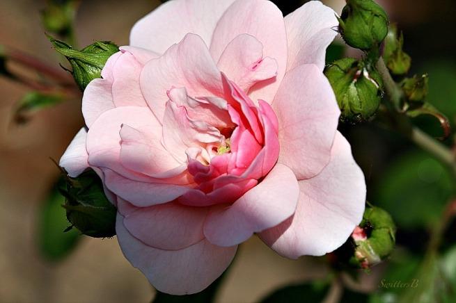 pink petals, rose, tribute, morning light, macro, photography, SwittersB