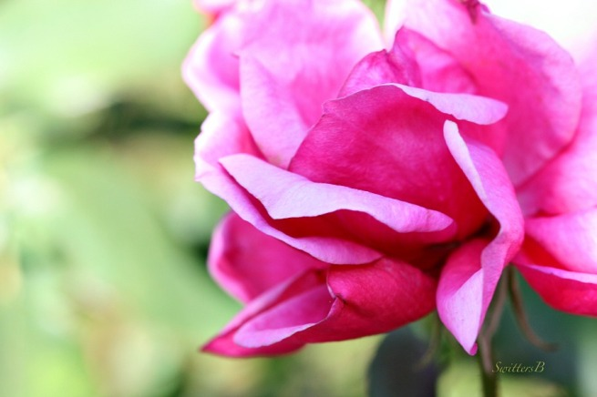 Pink Rose-Macro-Photography-SwittersB