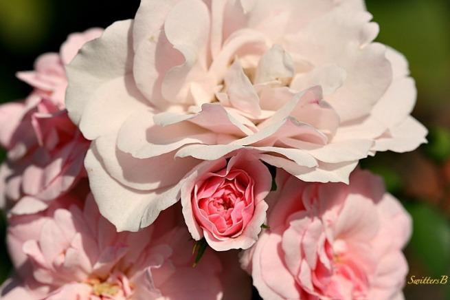 pink rose-roses-bud-macro-photography-SwittersB-garden