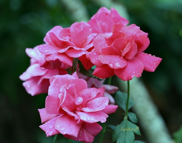 rain drops-garden-roses-macro-photography-SwittersB