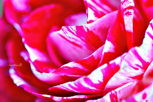 red and white rose-macro-photography-SwittersB-beauty