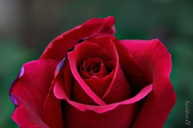 red rose-flowers-macro-garden-photography-SwittersB