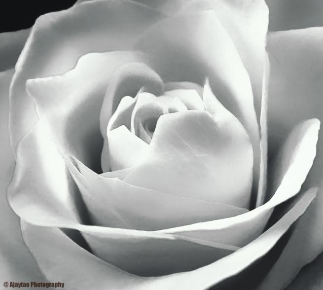 rose-b-w-17-ajaytao