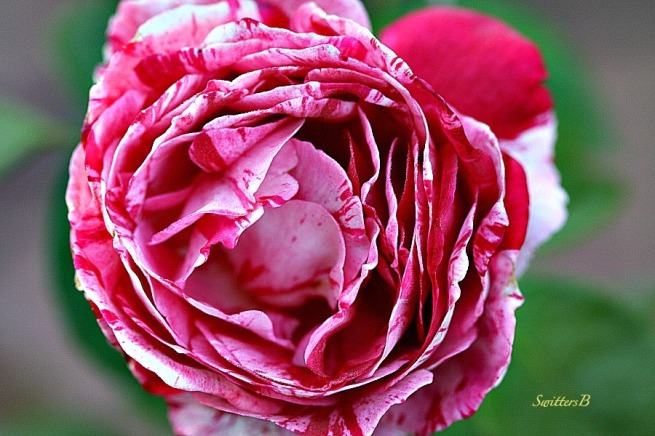 rose-peppermint-garden-macro-photography