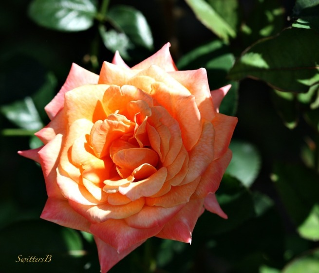 rose-petals-beauty-shade-garden-photography