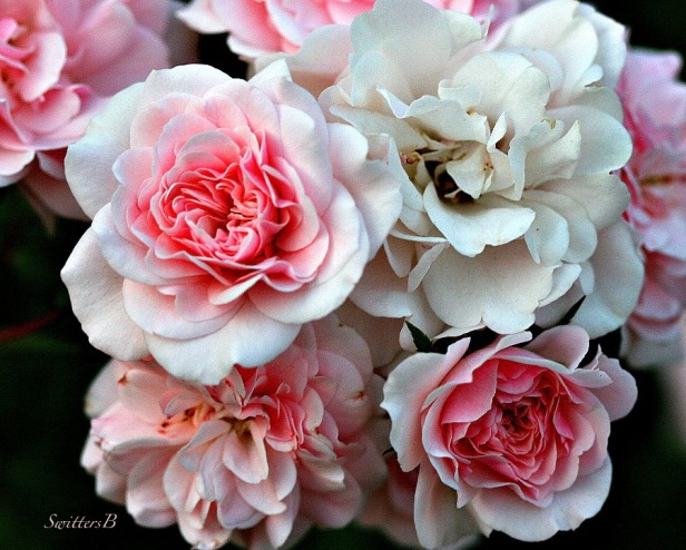 roses-pink and white-bouquet-macro-photography-SwittersB