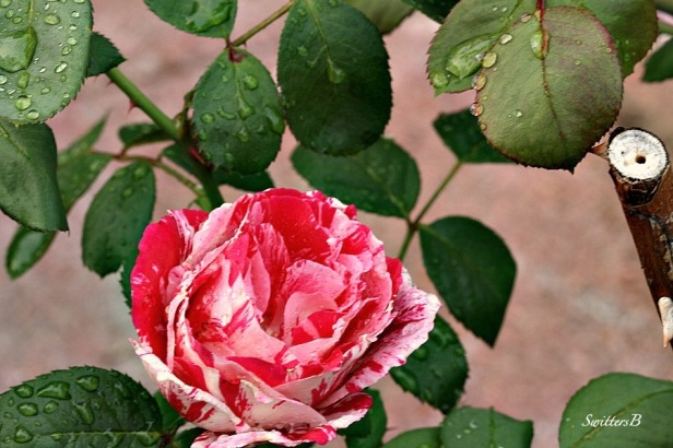 roses-water droplets-garden-photography-SwittersB