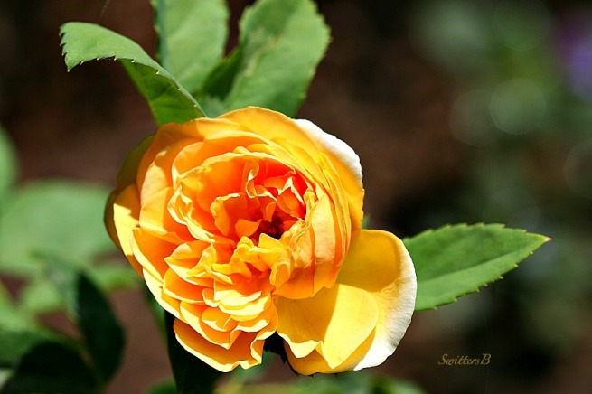 yellow rose-disheveled beauty-petals-macro-photography-SwittersB