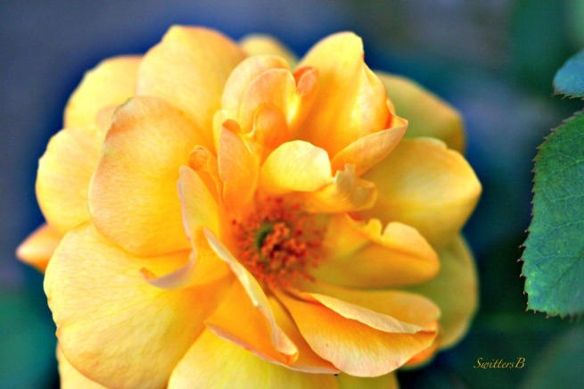 yellow rose-petals-macro-flowers-garden-SwittersB-photography