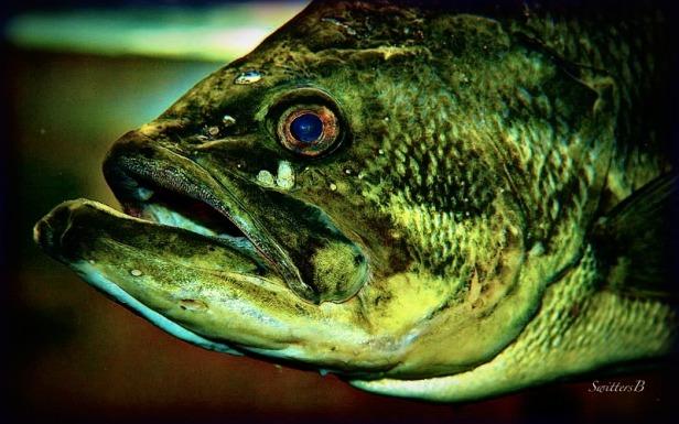 Bass-game fish-photography-SwittersB-fishing-bass-outdoors