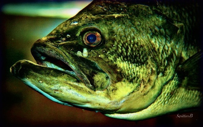 Bass-game fish-photography-SwittersB-fishing-bass-outdoors