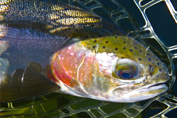 beauty rainbow trout-photography-fish-fly fishing-SwittersB