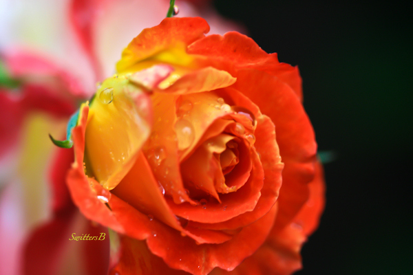 bud--rose-garden-photography-SwittersB-5707