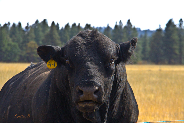 bull-ranch-Oregon-Angus-SwittersB-photography
