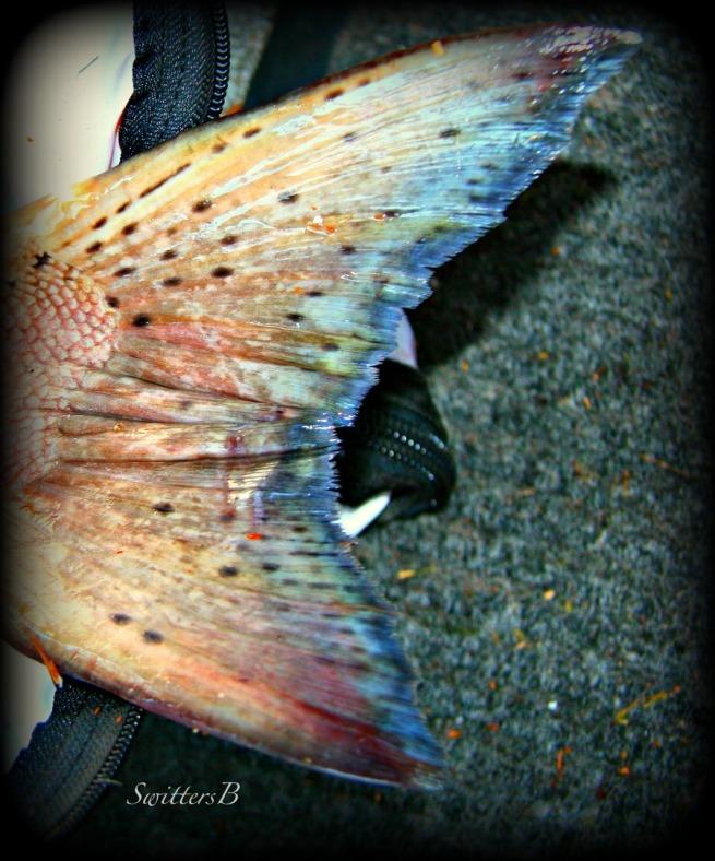 chinook tail-photography-nature-fishing-Oregon-SwittersB