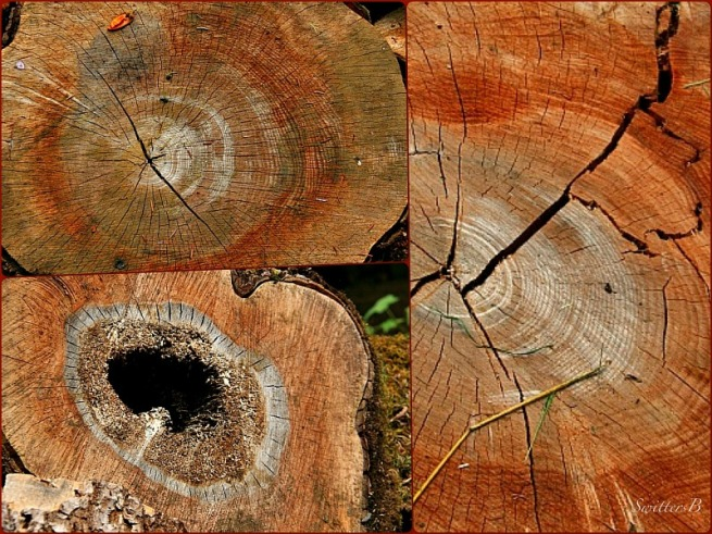 cut trees-wood-rounds-age-nature-photography-SwittersB