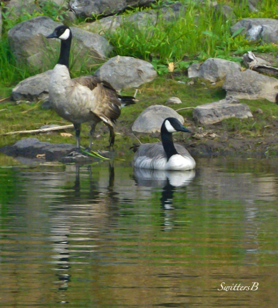 geese-birds-lake-shoreline-nature-Oregon-Photography-SwittersB