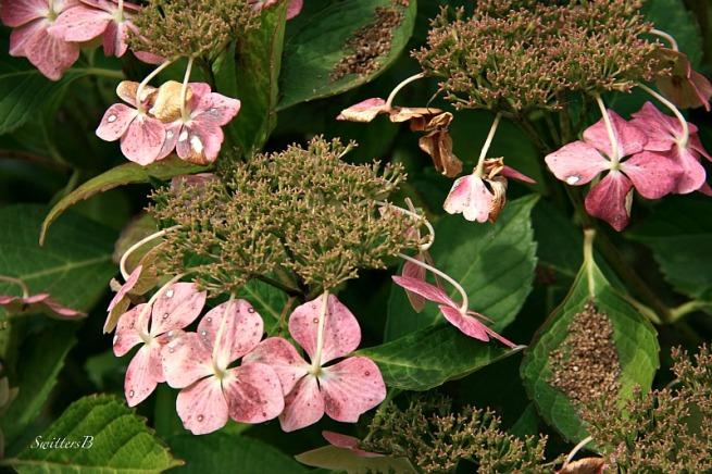 Hydrangea-flowers-Fall-photography-SwittersB-garden