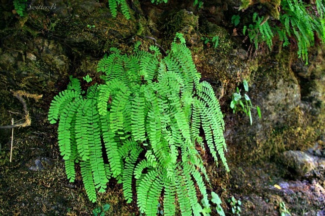 maidenhair ferns-Oregon-forest-plants-photography-SwittersB