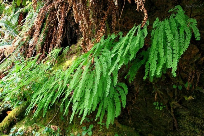 maidenhair ferns-woods-photography-SwittersB-Oregon