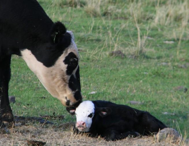 Mom, calf, birth, ranch, Oregon, cattle, photography, SwittersB