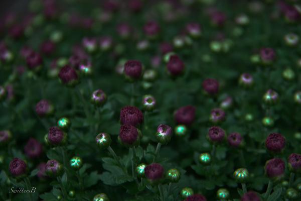 mums-dusk-flowers-low light-photography-gardening-SwittersB-flowers