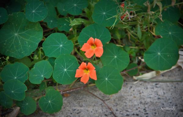 naturtiums-flowers-Fall-gardening-SwittersB-photography