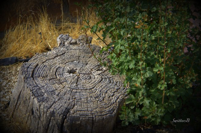 old stump-new growth-nature-photography-tree stump-SwittersB