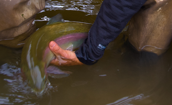 rainbow trout--escape-release-trout-fly fishing-fishing-Oregon-photography-SwittersB-5629
