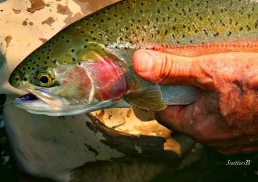 rainbow-trout-photography-fly-fishing-swittersb