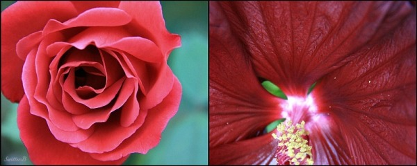 red hibiscus-red rose-morning light-macro photography-SwittersB