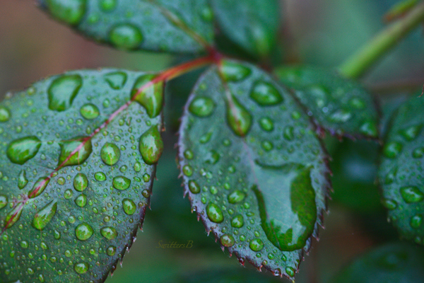 rose leaves-water-droplets-photography-SwittersB